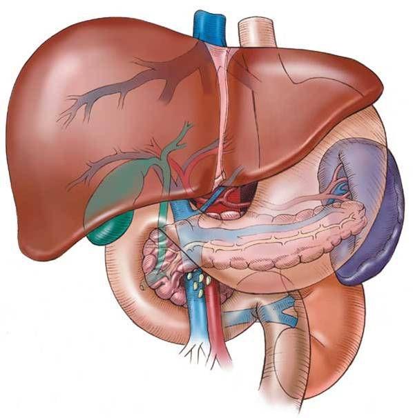 karaciger-nasil-bir-organdir